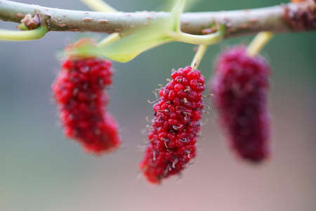 Close up shot of ripe red mulberries on a branch of a fruit tree under the bright sun sunny day
