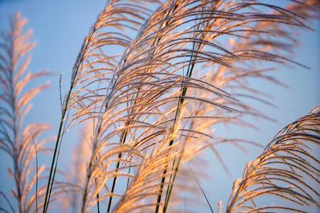 white reeds grass flower field against blue sky, sunset sky in the evening Stock Photo