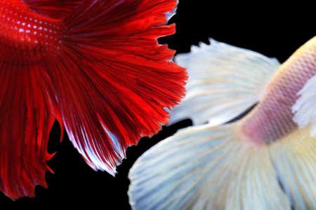 close up of beautiful siam betta fighting fish,betta splendens,halfmoon betta( Pla-kad),colorful Betta fish isolated on black background.
