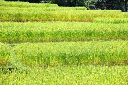 landscape of beautiful terrace rice plantation