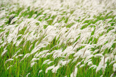 White reeds grass flowers in the meadow green field with the wind breeze