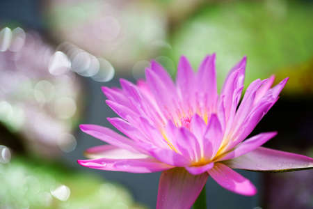 close up of pink lotus flower with beautiful bokeh background.