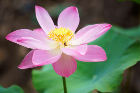 close up of beautiful blooming lotus flower Stock Photo