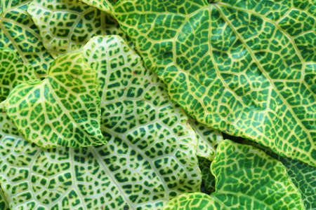 close up abstract pattern of fresh vein leaf background