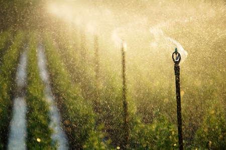spraying water sprinkler watering plant in farm against sunset light