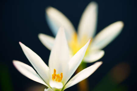 close up of beautiful white rain lily flower