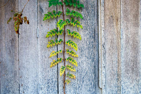 abstract of beautiful vine plant climbing on wooden wall background