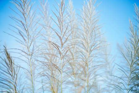 White Tall Reeds Grass Flower in the sunny day blue sky background summer springtime rural scene Stock Photo