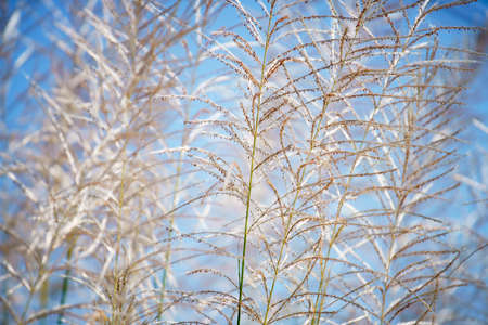 White Tall Reeds Grass Flower green meadow field in the sunny day blue sky background summer springtime rural scene