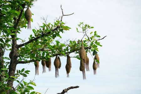 weaver bird nest hanging on tree against blue sky