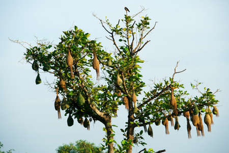 community of weaver bird nest on green tree against blue sky.