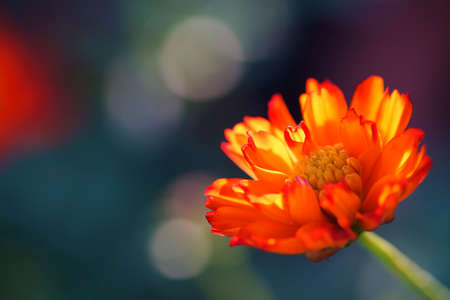 close up of beautiful blooming orange cosmos flower with bokeh background