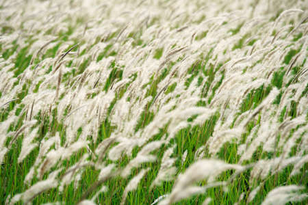 White reeds grass flowers in the meadow green field with the wind breeze Stock Photo