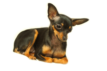 Dog toy terrier on a white background. Purebred miniature pinscher. The dog lies and thinks.
