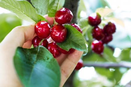 arbol de cerezo: Dé la selección de cereza fresca deliciosa, primer plano
