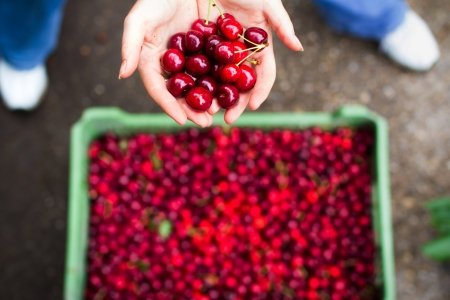 farm worker: Woman showing cherry over bin