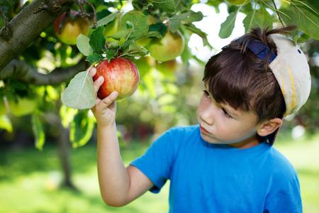 APPLE trees: Little boy in cap picking apples, outdoor portrait
