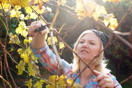 autumn garden: Blonde woman trim branch by small hedge cutter, pruning, outdoor work at backyard