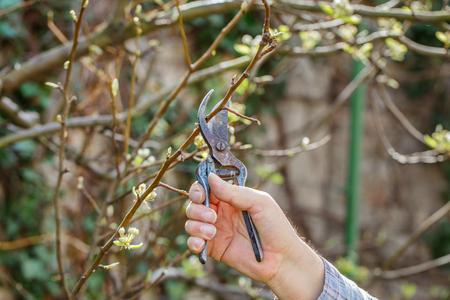ciruela pasa: rama de ciruela hombre en la primavera, al aire libre