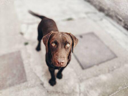Chocolate Labrador Retriever portrait, looking into camera, depth of field