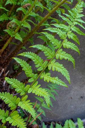 Green fern leave fractal pattern in nature 版權商用圖片