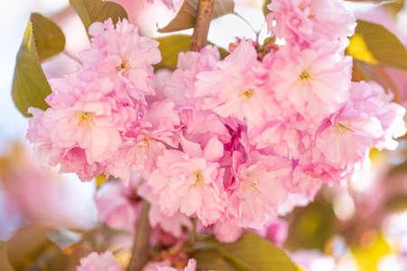 Cherry blossom on branch during Sakura, April, springtime, public park