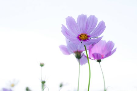 Cosmos flowers on white background. photo
