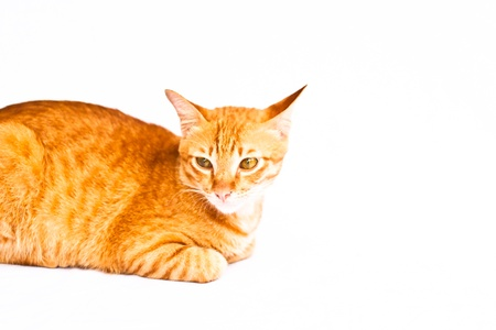 Red cat on white background. Stock Photo - 11845494