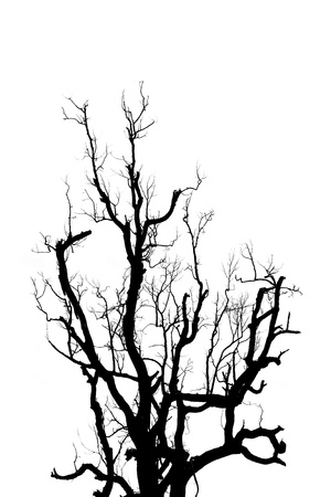 Big dead tree silhouette isolated on white  photo