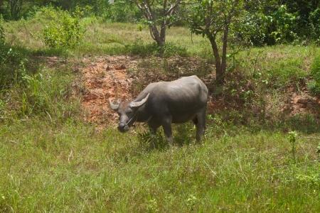 Bison graze near a rural highway Thailand  photo