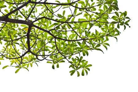 Groene bladeren op een witte achtergrond. Alstonia scholaris / Apocynaceae Stockfoto - 15825712