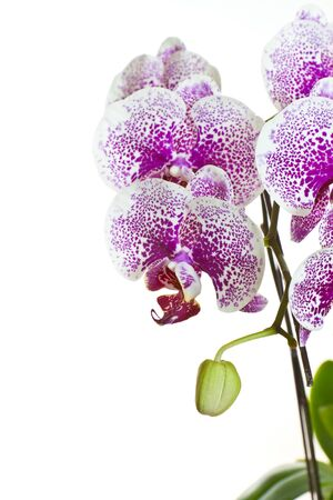 vivid pink phalaenopsis orchid flower isolated on white background  photo