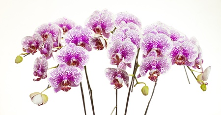 pink phalaenopsis orchid flower on white  background  photo