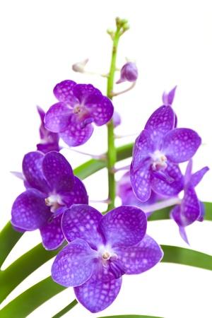 vanda: blue vanda orchid on isolated white background  Stock Photo