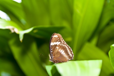 A beautiful brown butterfly resting on a green leaf  photo