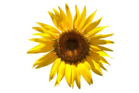 helianthus annuus: beautiful sunflower with dew drops isolated on white