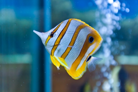 fishtank: Batfish,Platax pinnatus