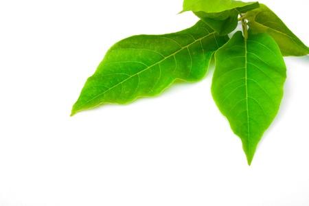 chlorophyll: Green leaf on white background.