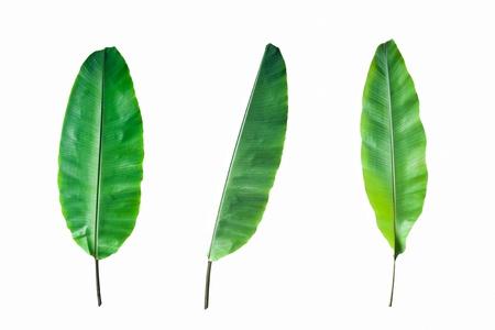 Fresh Banana Leaf Isolated on white background Standard-Bild