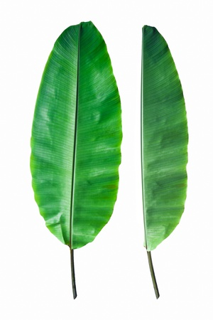 Fresh Banana Leaf Isolated with clipping path Stok Fotoğraf