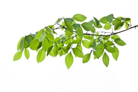Green leave on white background,green leaf