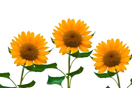 beautiful sunflower isolated on a white background photo