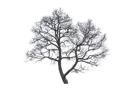 arbre mort: Arbre mort sur un fond blanc. Banque d'images