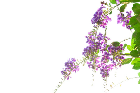 dewdrop: Duranta, Golden dewdrop, Pigeon berry isolated on white background