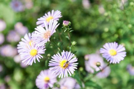calceolaria: bel fiore viola e api
