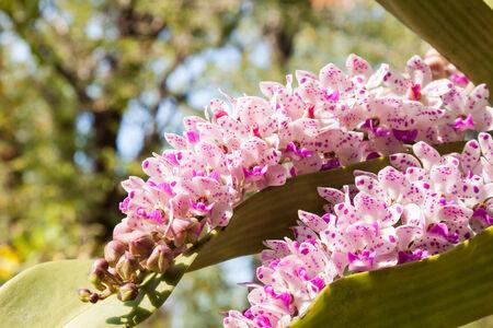 gigantea: Rhynchostylis gigantea  ,orchid flower