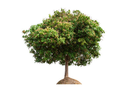 Mango Tree  isolated on white background