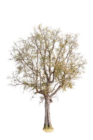 albero secco: Albero morto e secco � isolato su sfondo bianco Archivio Fotografico
