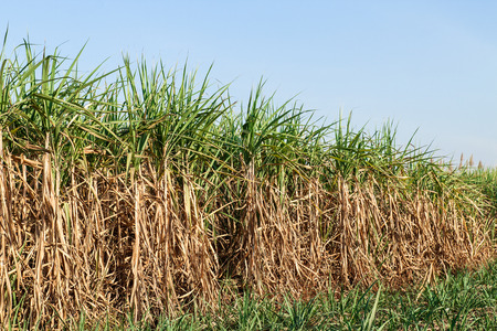 Sugar cane field and blue sky photo