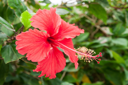 Hibiscus flower red petal Stock Photo